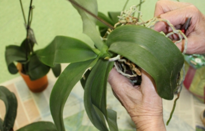 Presádzanie orchideí